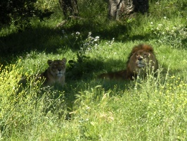 Lions @ Oakland Zoo