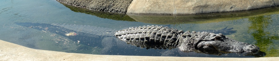 Alligator @ Oakland Zoo, 17MP!